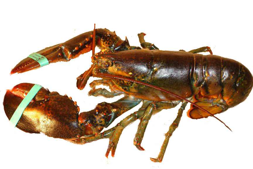 Lobster History - Learn About the History of Lobsters