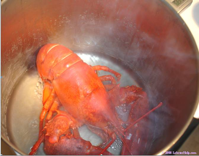 Steaming Lobster 7